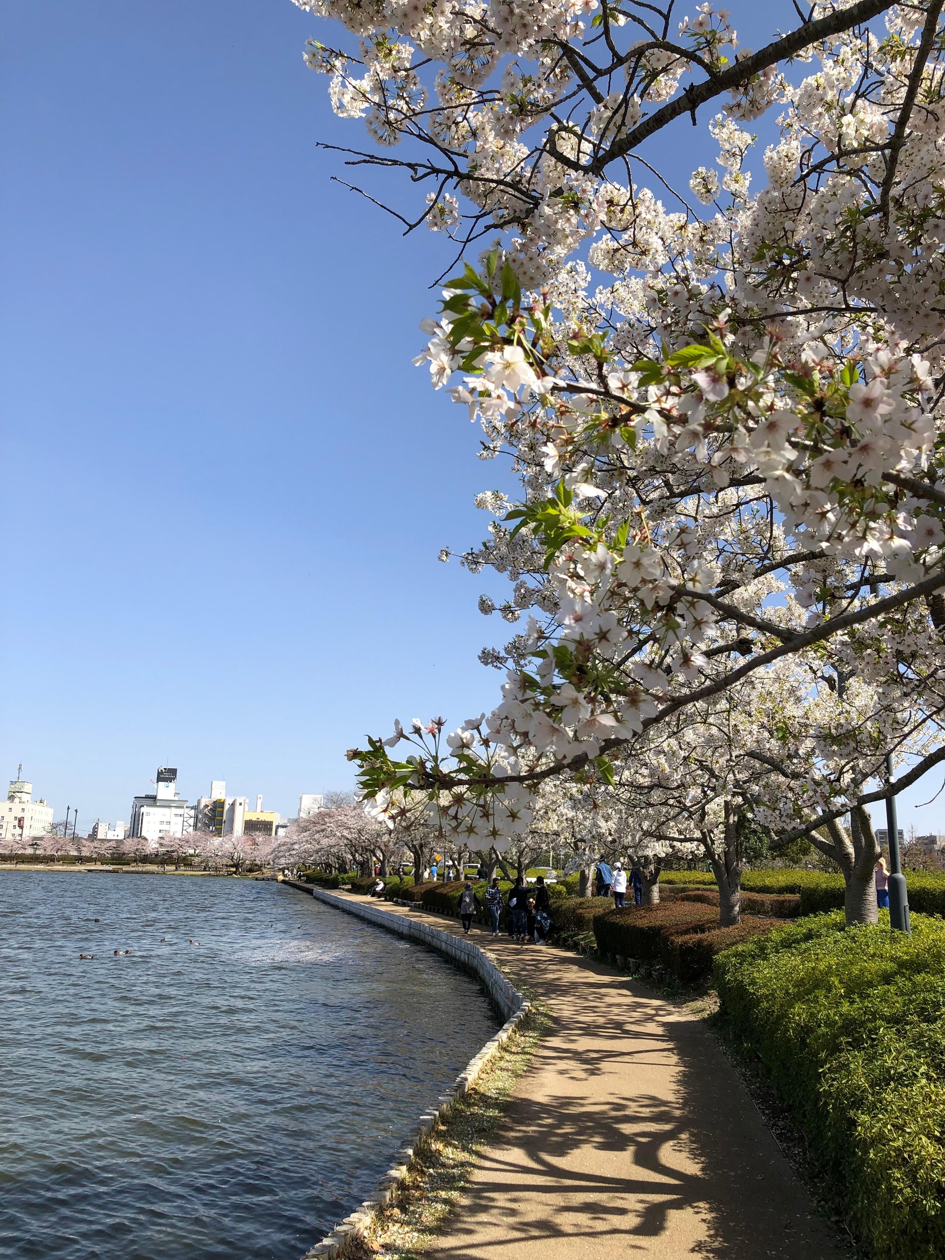 キービジュアル画像:桜の紹介   わたしたちの街