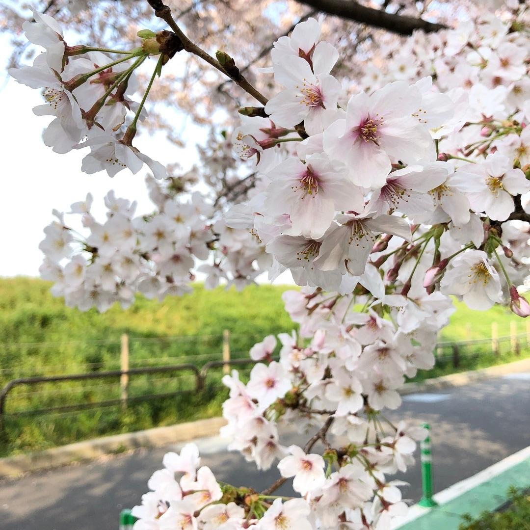 キービジュアル画像:二子玉川便り | 多摩川で見つけたモノ Vol.2「桜のようす」