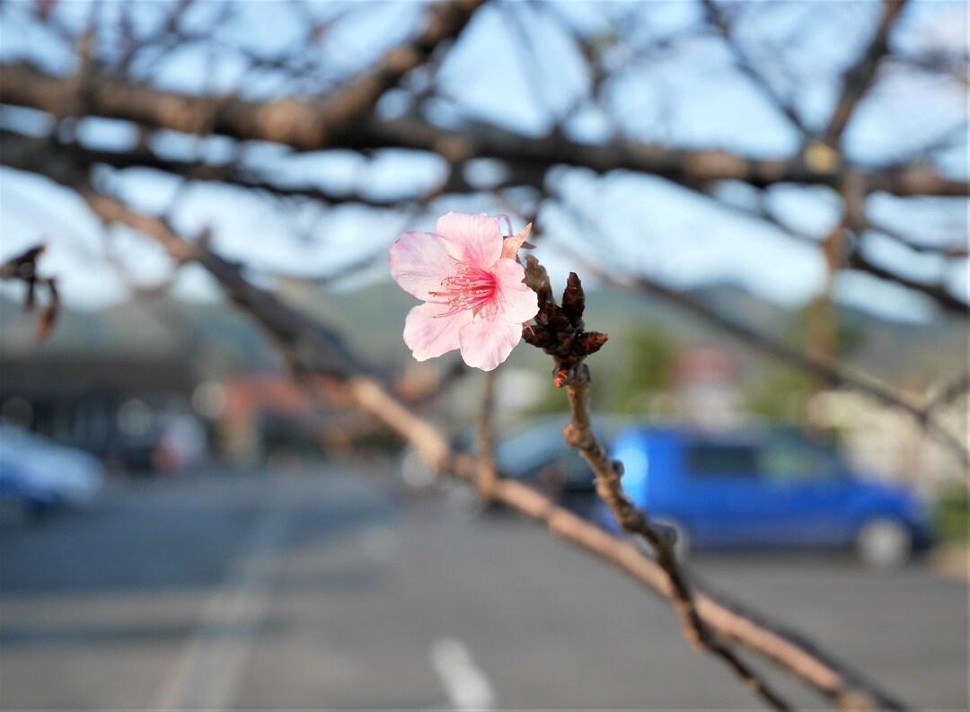 キービジュアル画像:河津桜が咲きました
