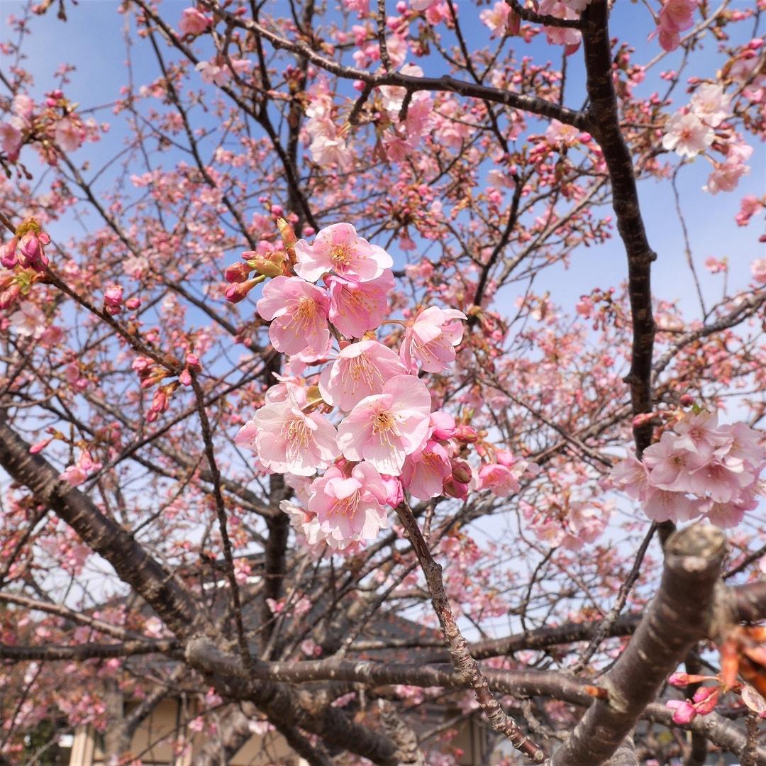 【みんなみの里】河津桜