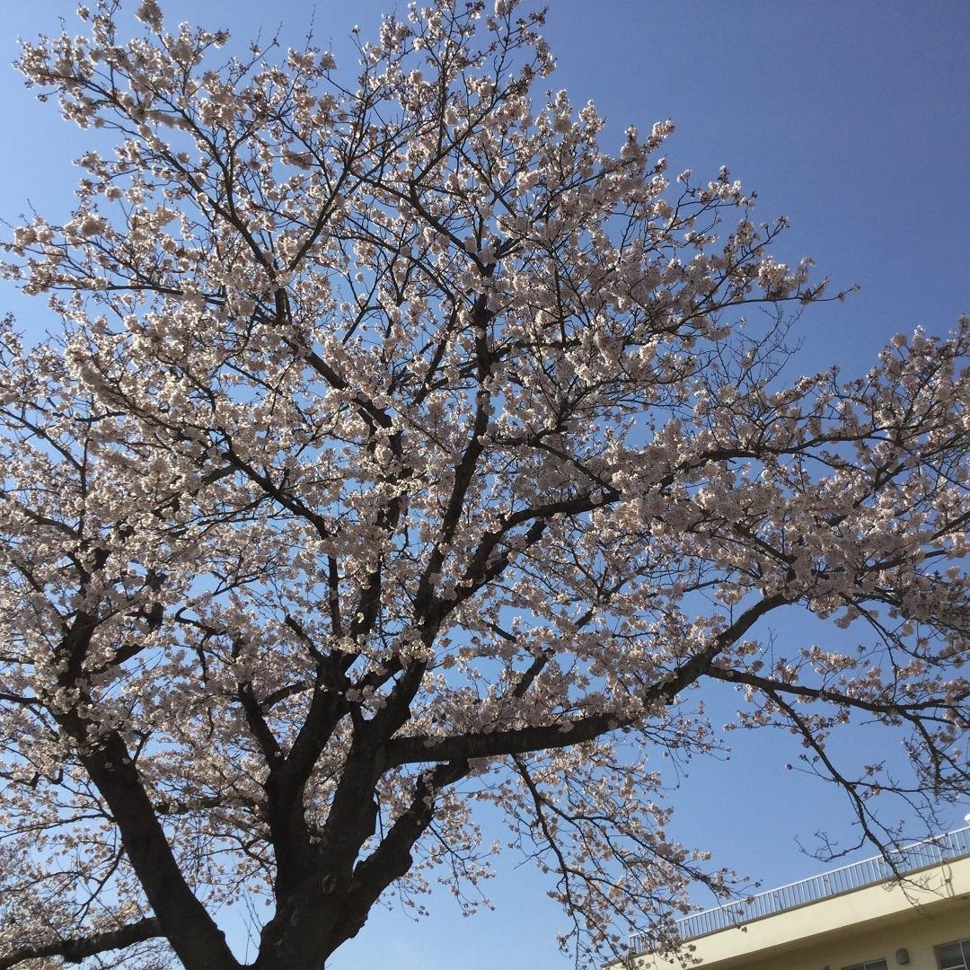 キービジュアル画像:小名浜の桜 まち歩き