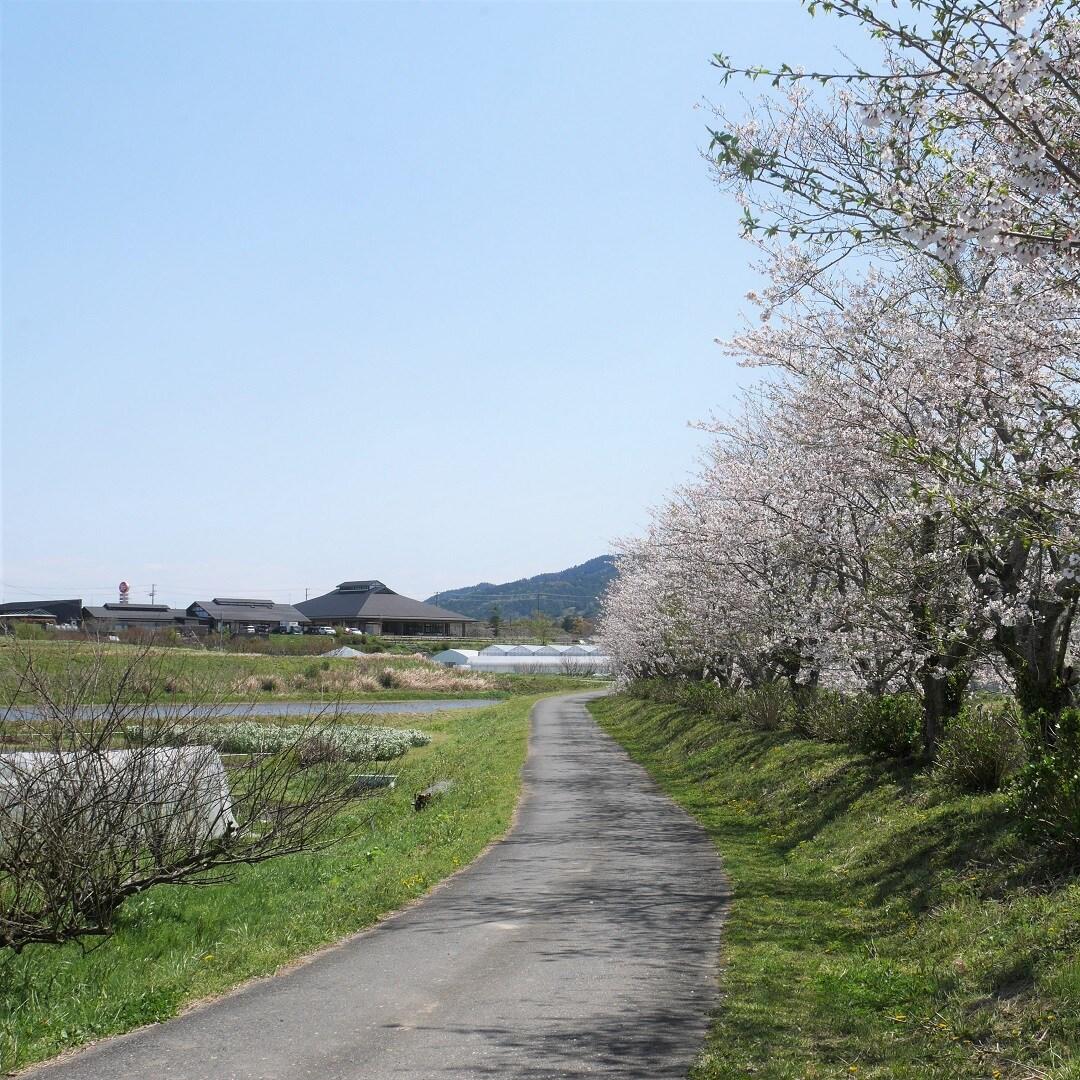 【みんなみの里】桜