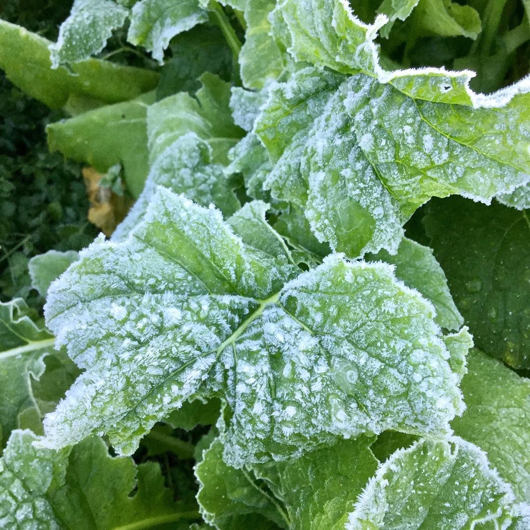 【みんなみの里】 凍った菜の花