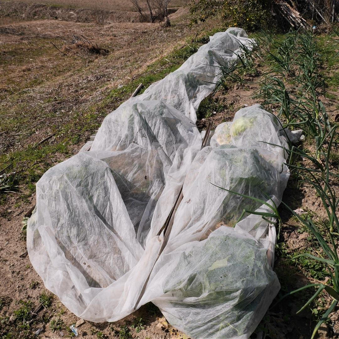 【みんなみの里】玉ねぎとキャベツの畑