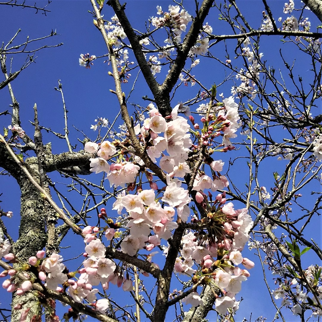 【みんなみの里】桜菓子