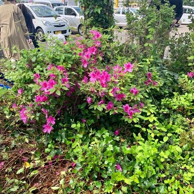 ツツジと草刈り前の花壇