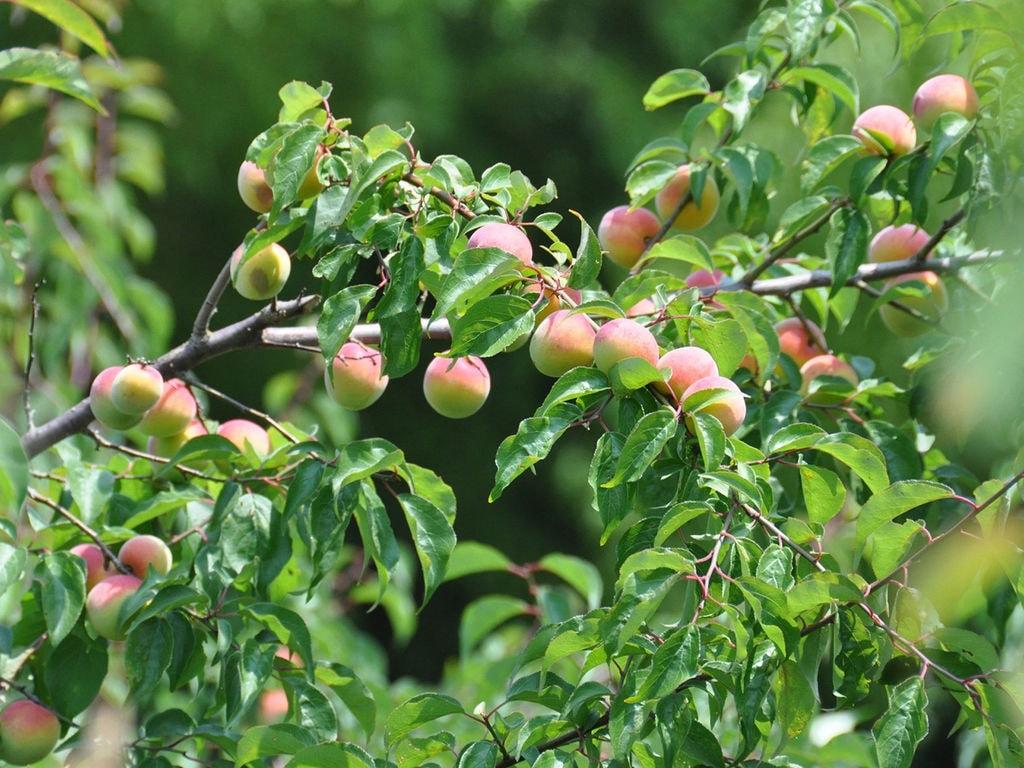 明治36年開墾、奈良県吉野の果実園から届ける旬のフルーツ
