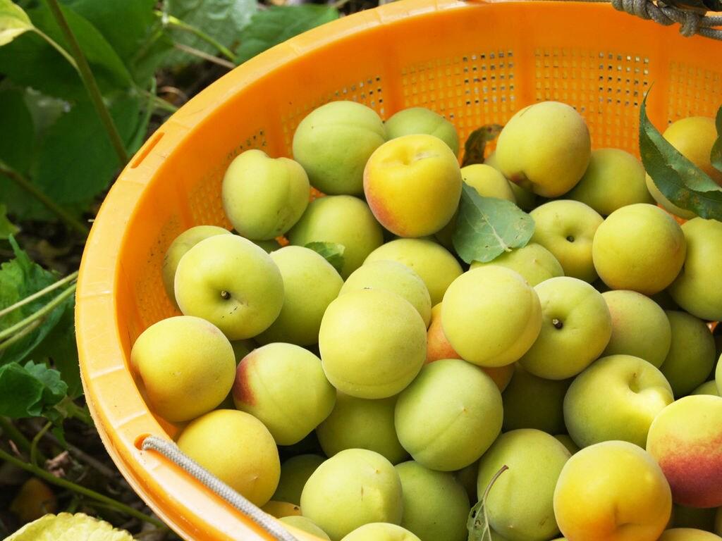 農薬に頼らず無茶苦茶に頑張る。健康で安全な「無茶々園」の梅
