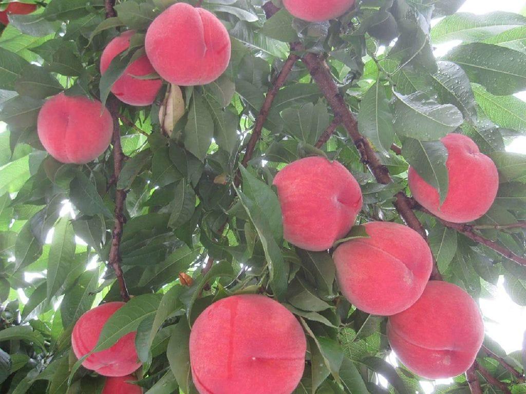 すべては自信を持って農業を続けていくために。福島の安心・安全で美味しい果実