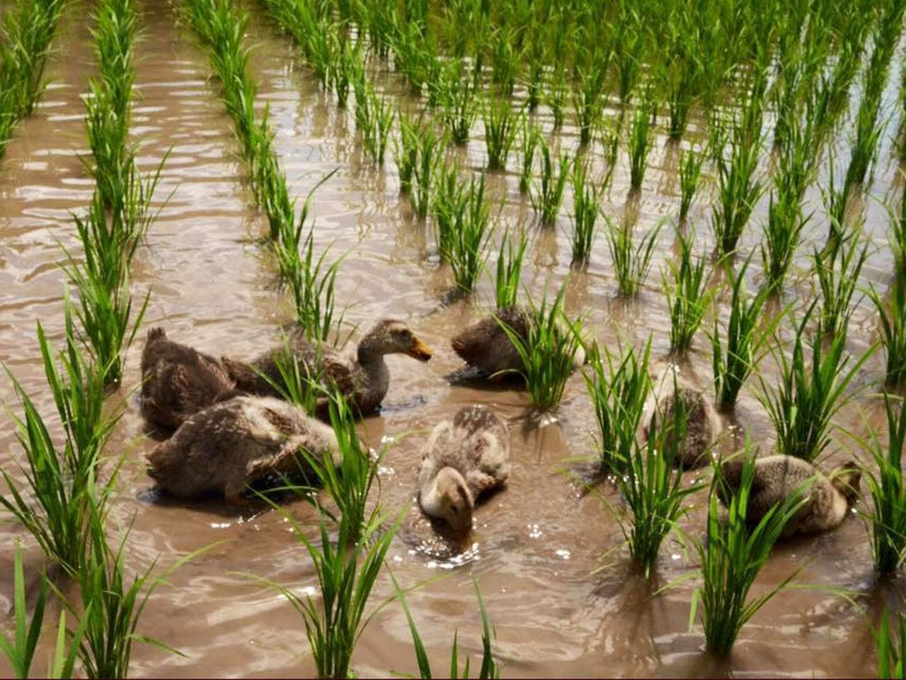キービジュアル画像:豊かな里山の資源を絶やさない…「あいがもん倶楽部」の合鴨農法米