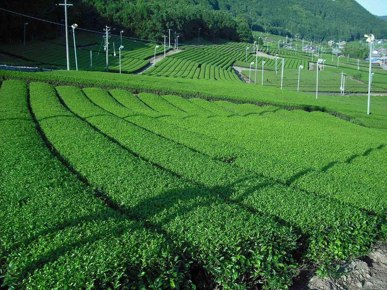 キービジュアル画像:~程よい渋みと甘みが味の自慢~ 松阪の深蒸し茶