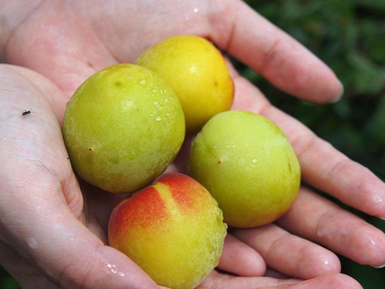 キービジュアル画像:長期熟成ななやまの宝物 完熟梅のシロップと加工品
