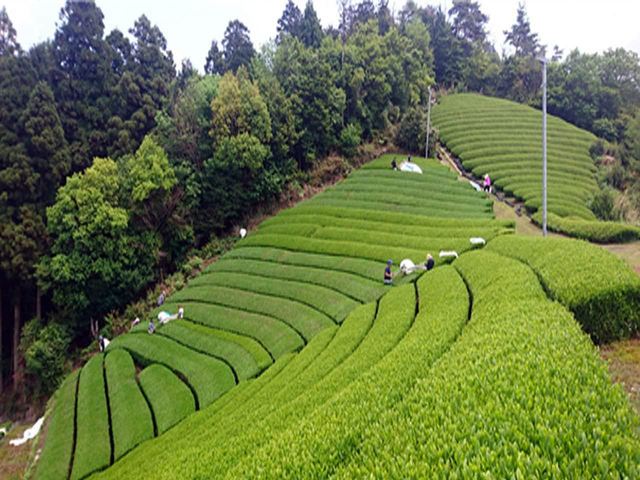 キービジュアル画像:茶源郷・和束の新風、有機・無農薬栽培茶への挑戦