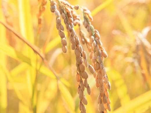 キービジュアル画像:天皇献上米に選ばれた長狭米は、郷土の誇り