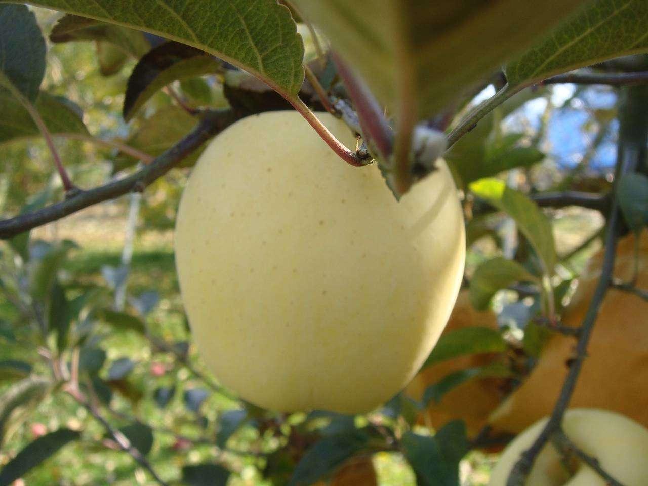 キービジュアル画像:山形盆地に育まれた黄色の希少りんご
