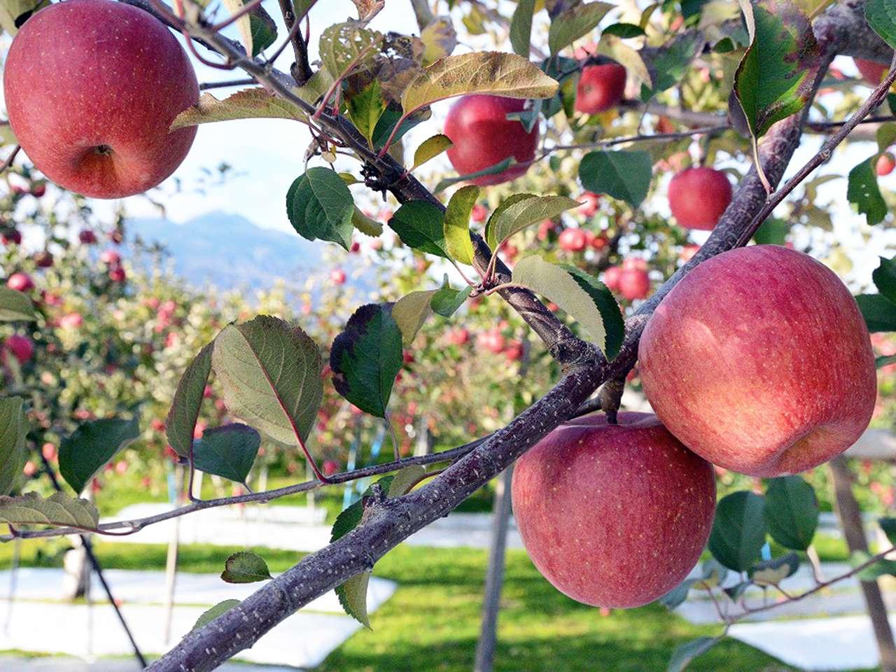 キービジュアル画像:世界自然遺産・白神山地の「ツル割れリンゴ」