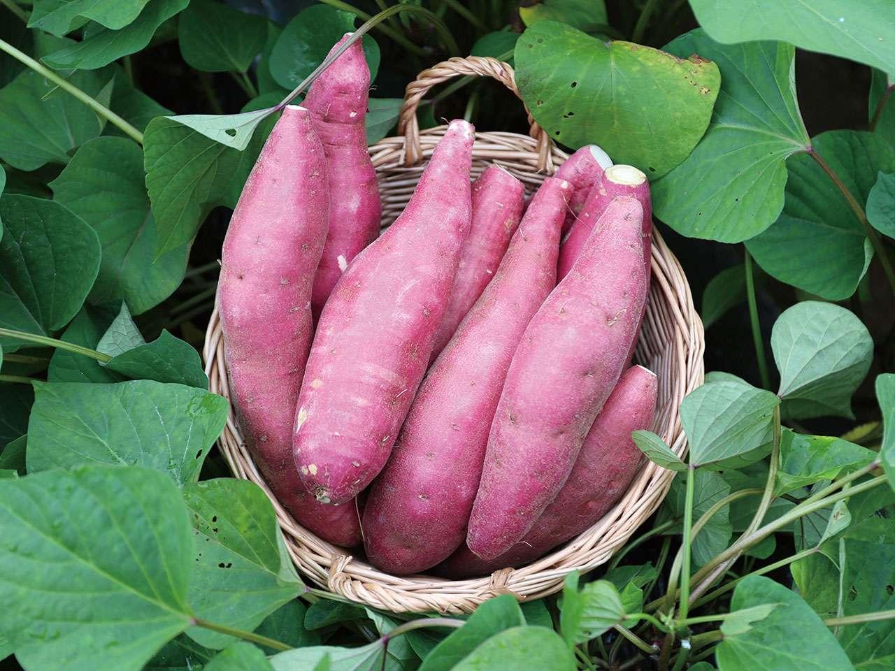 キービジュアル画像:世界一を目指す串間のほっくほくのサツマイモ