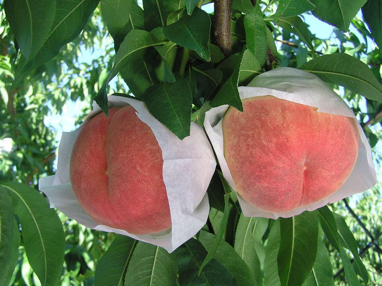 キービジュアル画像:寒河江市・芳賀さんたちの、袋掛けして完熟収穫した桃