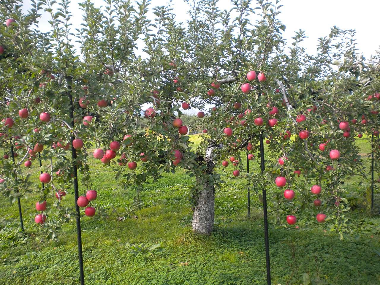 キービジュアル画像:寒暖の差が激しい山形の気候が育んだ、板坂さんのおいしい果物たち