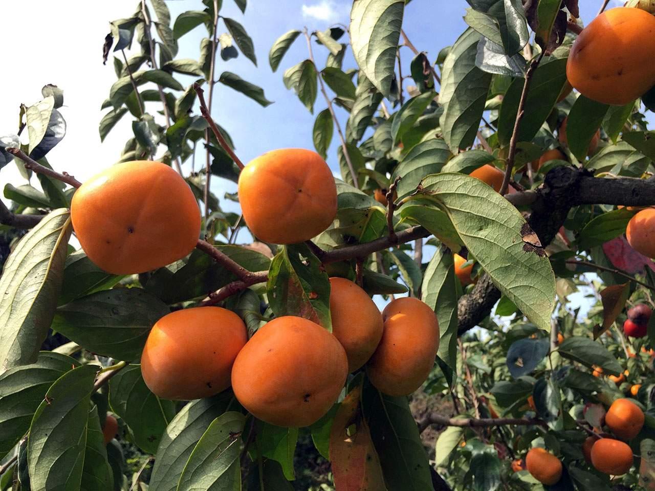 キービジュアル画像:紀州かつらぎ町・新岡農園のおいしい果物たち